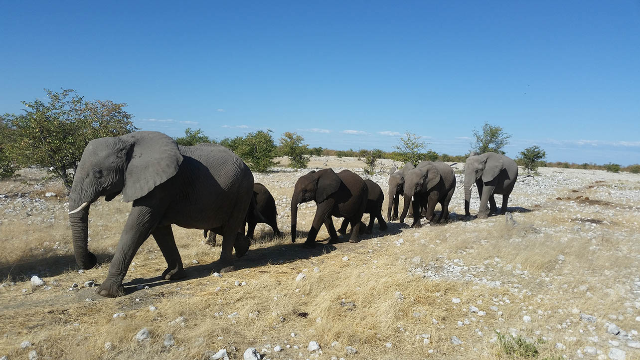 Namibia to sell off wild elephants in controversial auction