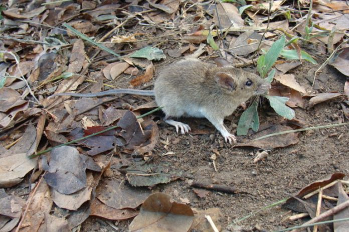 On a Philippine volcano, an eruption-proof mouse rules the roost