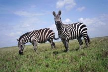 Why do zebras have stripes? Candid Animal Cam visits the Serengeti