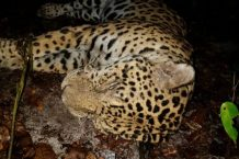 Jaguars in Suriname's protected parks remain vulnerable to poaching