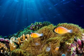 Corals are struggling, but they're too abundant to go extinct, study says