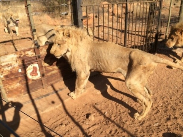Lions on a captive breeding farm in South Africa Image courtesy of Blood Lions.