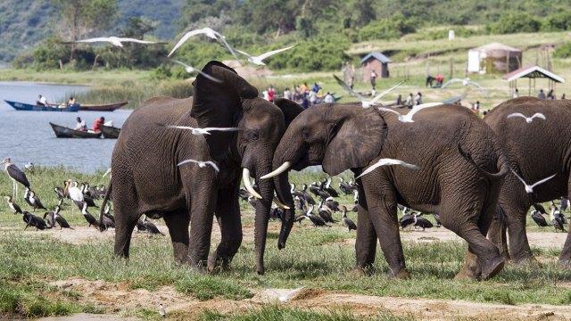 African elephants in Queen Elizabeth National Park, Uganda. Photo credit: Gregoire Dubois