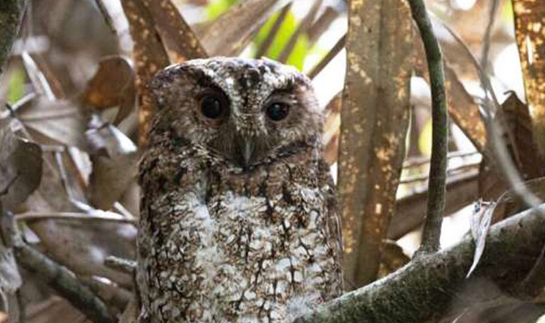 An owl not seen in over a century makes a brief return — then vanishes again