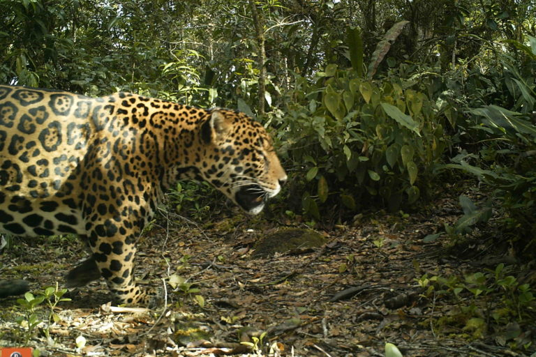 In Colombia, a successful jaguar conservation program has a whiff of coffee