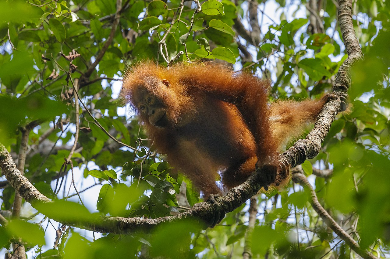 Lean times leave orangutans wasting away. Habitat loss makes things worse