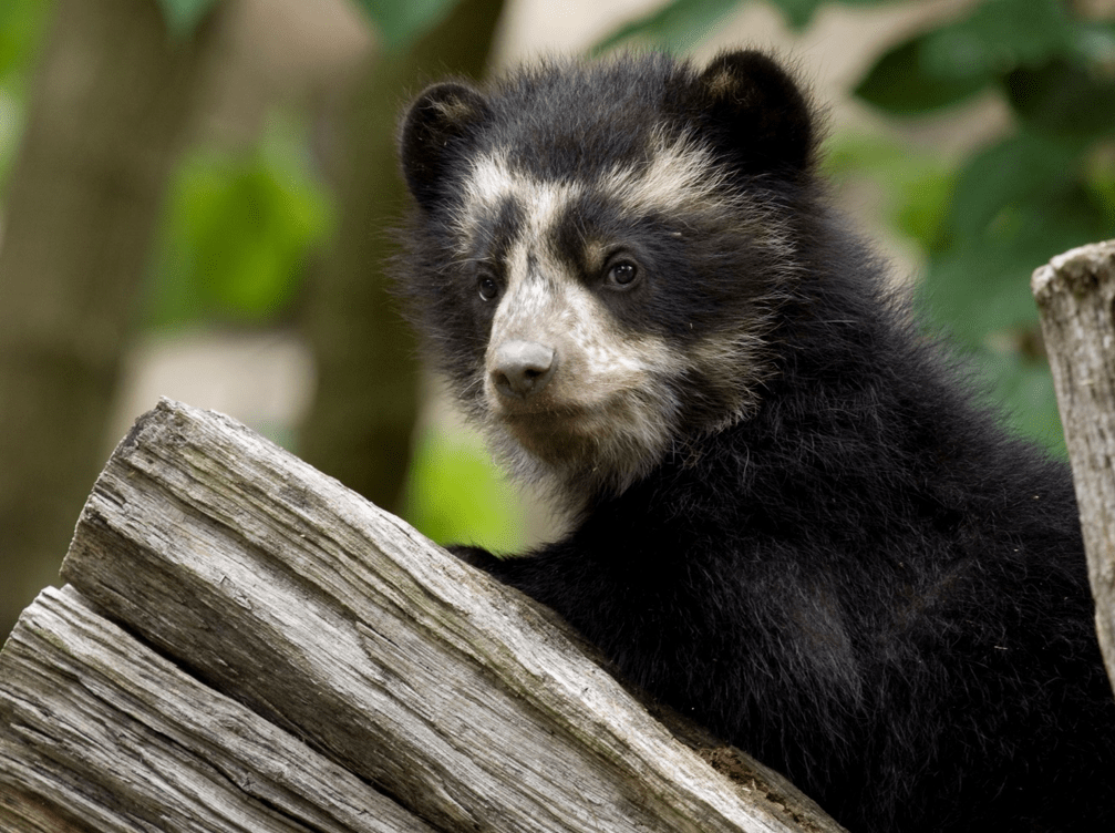 The secret bears of Bolivia's lost dry forests