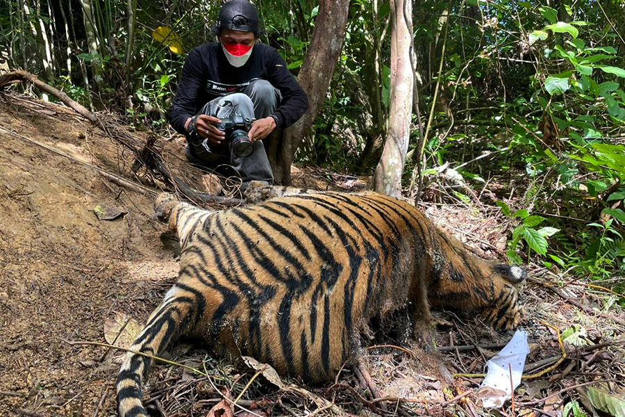 Mother tiger and her cubs found dead in Sumatran forest