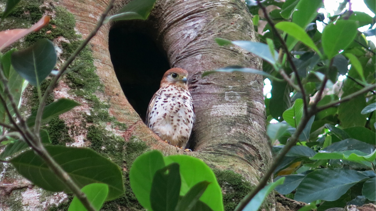 What the Mauritius kestrel can teach us about wildlife reintroductions