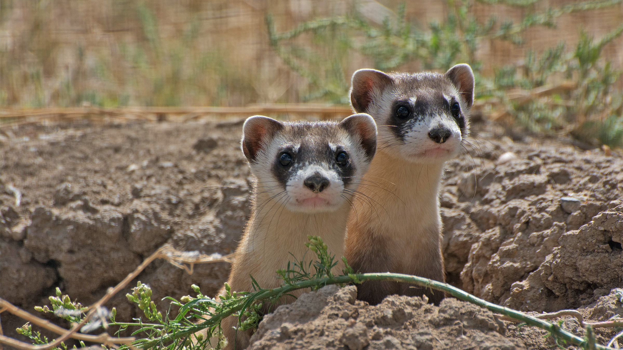 Black-footed ferrets riding out COVID-19 with a vaccine and a lot of TLC