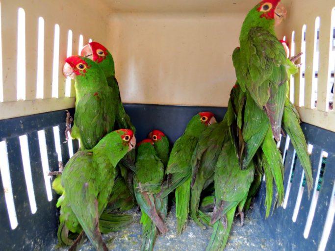 Loros cabeza roja rescatados durante un operativo policial en el Perú. Foto: Serfor.