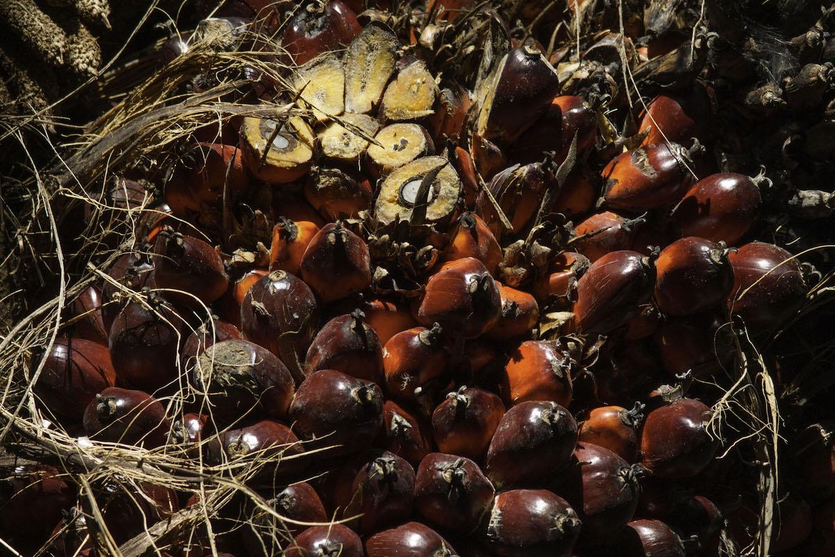 La invasión de la palma africana en la Selva Lacandona