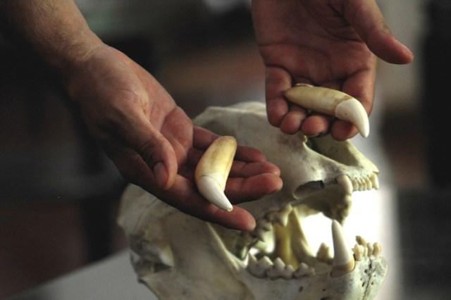 En China son altamente demandados los colmillos de jaguar. Los utilizan en medicina (por sus supuestas propiedades curativas), afrodisíacos y amuletos   Foto: Ecobol.