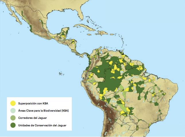 Este mapa muestra las áreas y corredores donde habita el jaguar en Latinoamérica. Fuente: ONG Panthera.