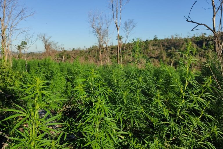 Marijuana plantation inside San Rafael. Image courtesy of SENAD.