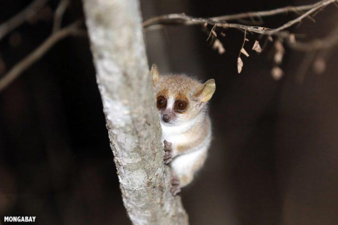 Madagascar's lemurs susceptible to coronavirus infection