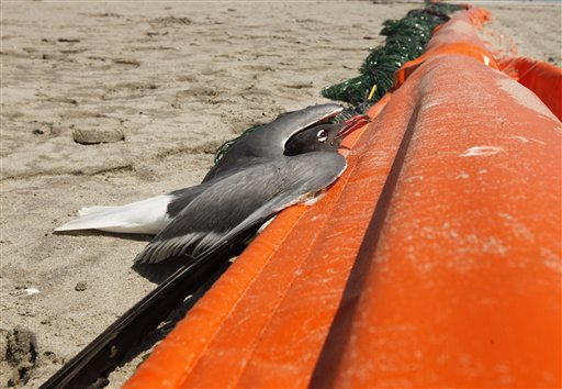 A laughing gull in distress tries to climb on an oil boom