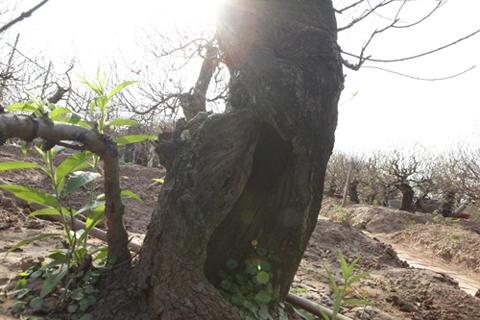 Ngắm cây đào cổ siêu đẹp, giá 'trên trời' cũng không bán