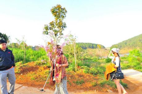 Phó giám đốc sở bẻ hoa, hoa anh đào, Bình Thuận, bẻ hoa, Đà Lạt, lễ hội hoa, facebook, Phạm Thị Minh Hiếu