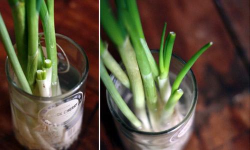 """trồng-rau, trồng-rau-""""Thạch-Sanh"""", rau-sạch, Hà-Nội, Hà Nội, cải-bó-xôi, hành, cần-tây"""