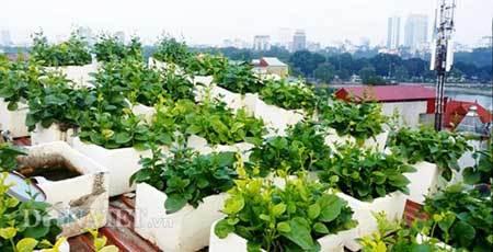 đại-gia, bầu-đức, thực-phẩm-bẩn, rau-sạch, nhà-ống, trang-trại, trồng-rau, nuôi-gà, sông-Hồng