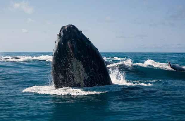 Além de chamarem a atenção dos especialistas, as baleias jubarte também se tornam principal atração turística: show natural (Instituto Baleia Jubarte/ Enrico Marcovaldi)