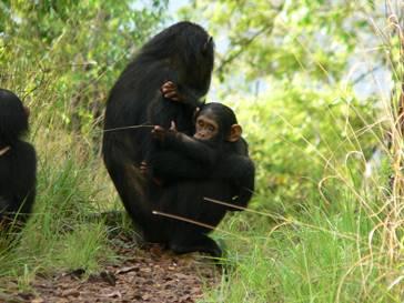 Enigma para a ciência A chimpanzé 078 com o filhote 090, no Parque Nacional de Gombe, na Tanzânia: ambos estavam livres do vírus SIVcpz na conclusão do estudo (Michael L. Wilson/Divulgação )