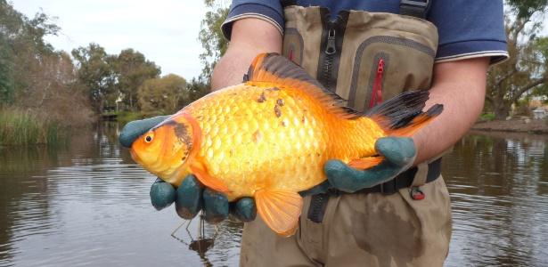 Peixe-dourado capturado por pesquisadores no rio Vasse, na Austrália