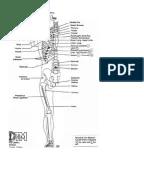 Neurolymphatic Points Chapmans Reflexes