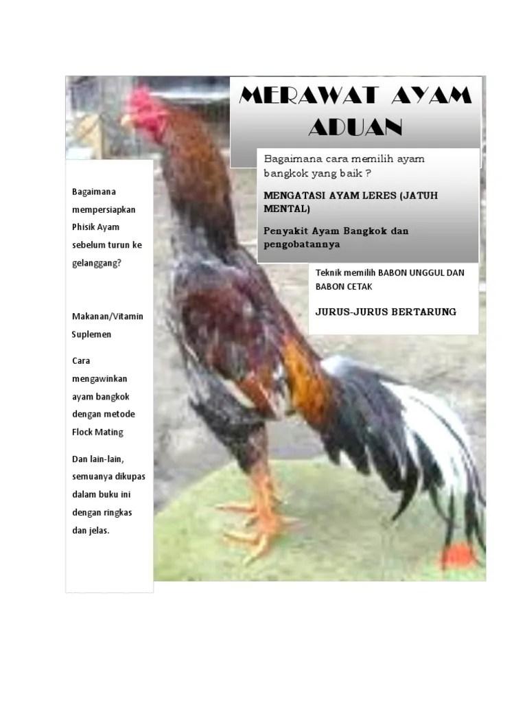 Cara Membuat Ayam Bangkok Gemuk : membuat, bangkok, gemuk, Merawat, Bangkok