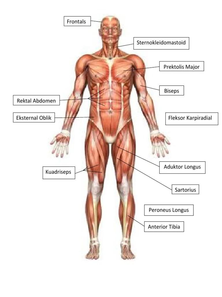 Otot : Rangka, Utama, Anterior