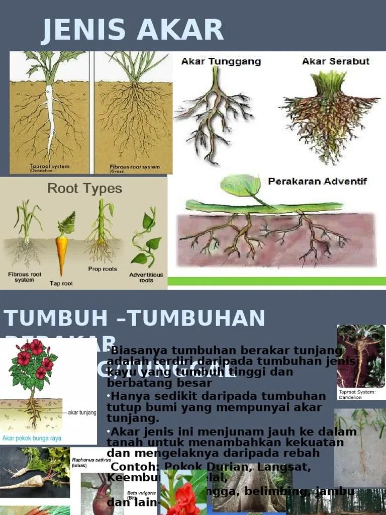Tumbuhan Berakar Serabut : tumbuhan, berakar, serabut, JENIS, TUMBUHAN