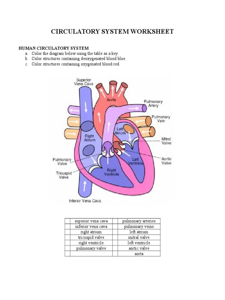 small resolution of Circulatory System Worksheet