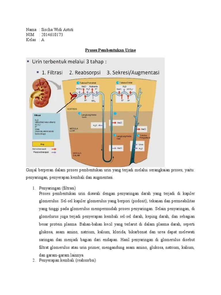 Tabel Pembentukan Urine : tabel, pembentukan, urine, Proses, Pembentukan, Urine