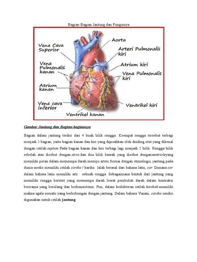 Gambar Bagian Jantung Dan Fungsinya : gambar, bagian, jantung, fungsinya, Bagian, Jantung
