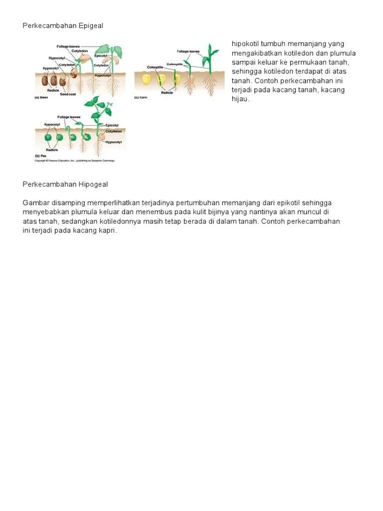Contoh Perkecambahan Epigeal : contoh, perkecambahan, epigeal, Perkecambahan, Epigeal