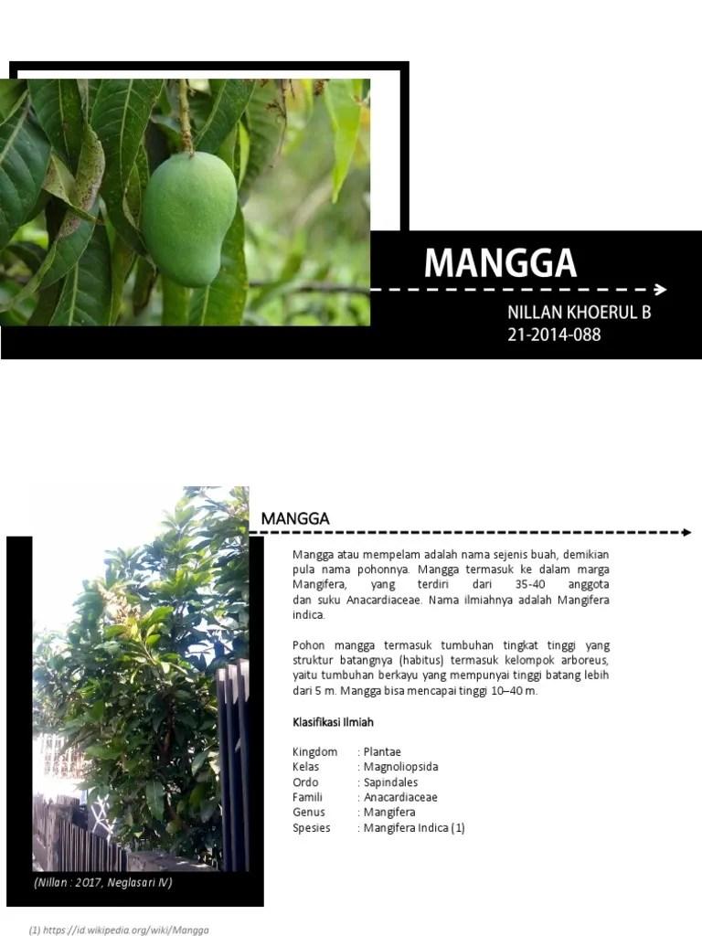 Nama Latin Pohon Mangga : latin, pohon, mangga, Pohon, Mangga