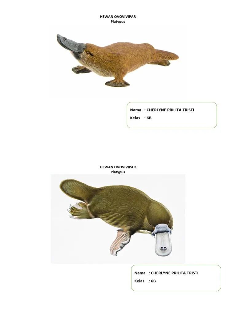 Platypus Ovovivipar : platypus, ovovivipar, HEWAN, OVOVIVIPAR