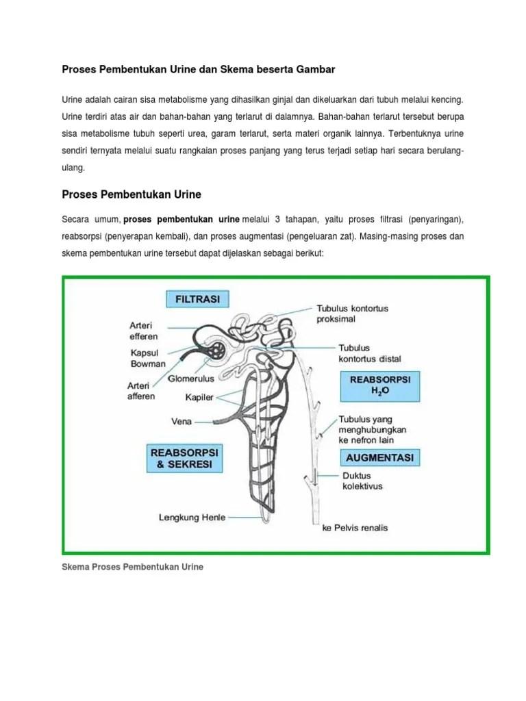 Tabel Pembentukan Urine : tabel, pembentukan, urine, Proses, Pembentukan, Urine, Skema, Beserta, Gambar