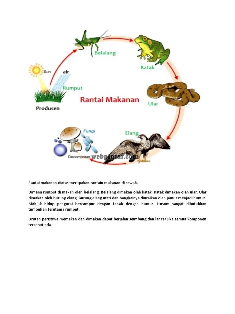 Rantai Makanan Di Sawah : rantai, makanan, sawah, Rantai, Makanan, Diatas, Merupakan, Rantain, Sawah