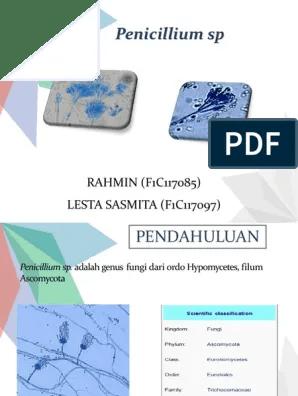 Penicillium Adalah : penicillium, adalah, Penicillium