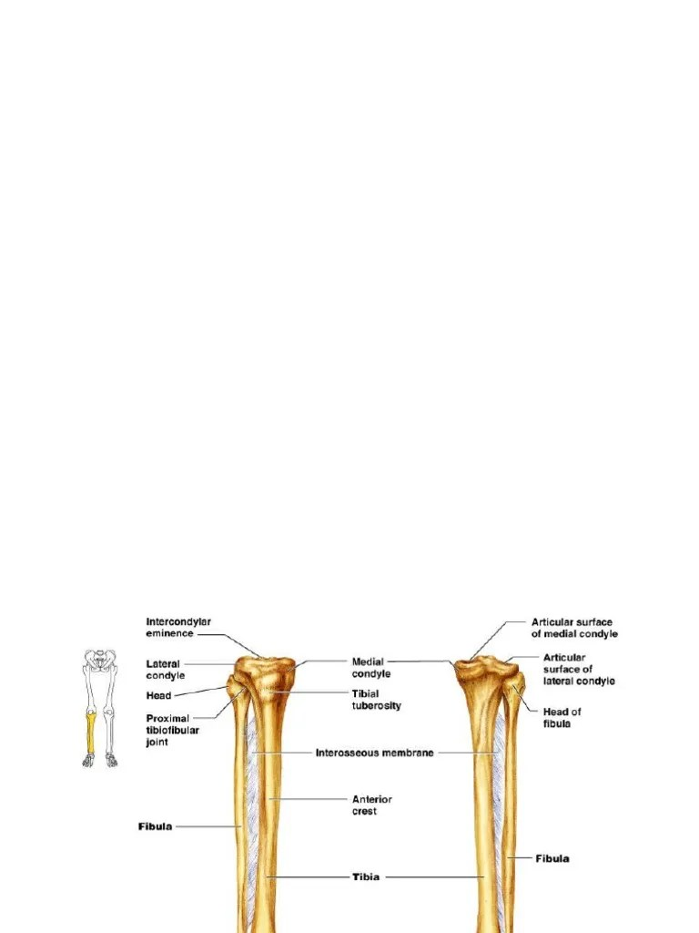 fibula diagram [ 768 x 1024 Pixel ]