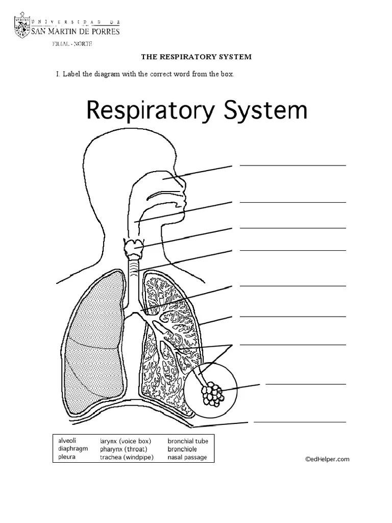 diagram of respiratory system nose [ 768 x 1024 Pixel ]
