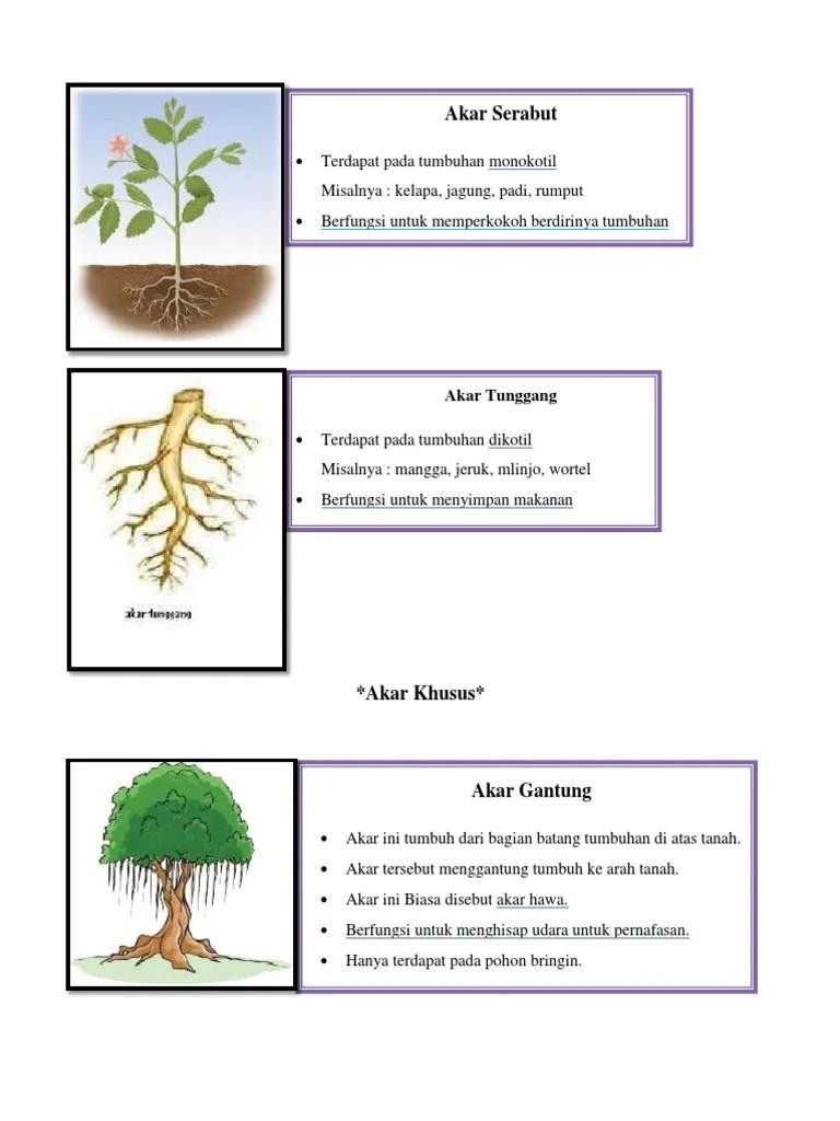 Tumbuhan Berakar Serabut : tumbuhan, berakar, serabut, Serabut