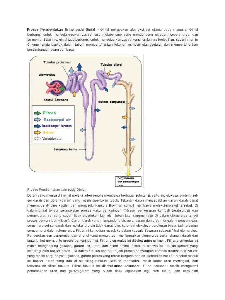 Proses Pembentukan Urin Dalam Ginjal : proses, pembentukan, dalam, ginjal, Proses, Pembentukan, Urine, Ginjal
