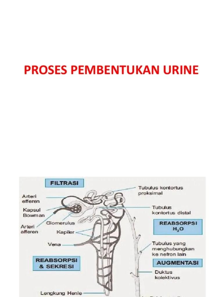 Proses Pembentukan Urin Pada Manusia - Pendidikanmu