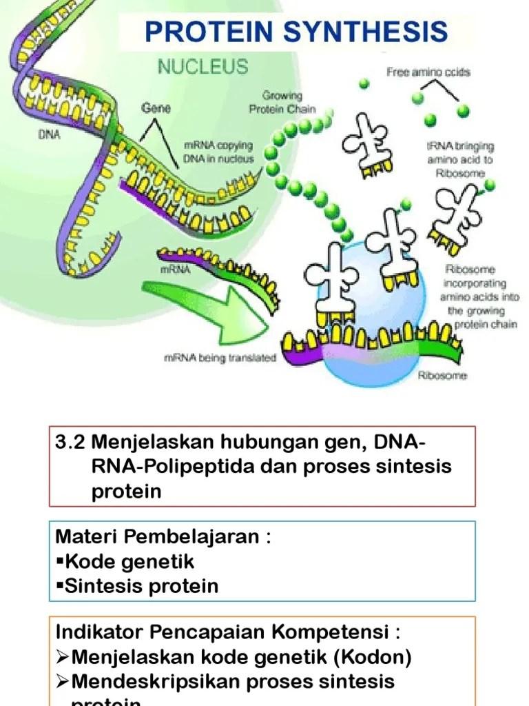 Proses Sintesis Protein : proses, sintesis, protein, Sintesis, Protein