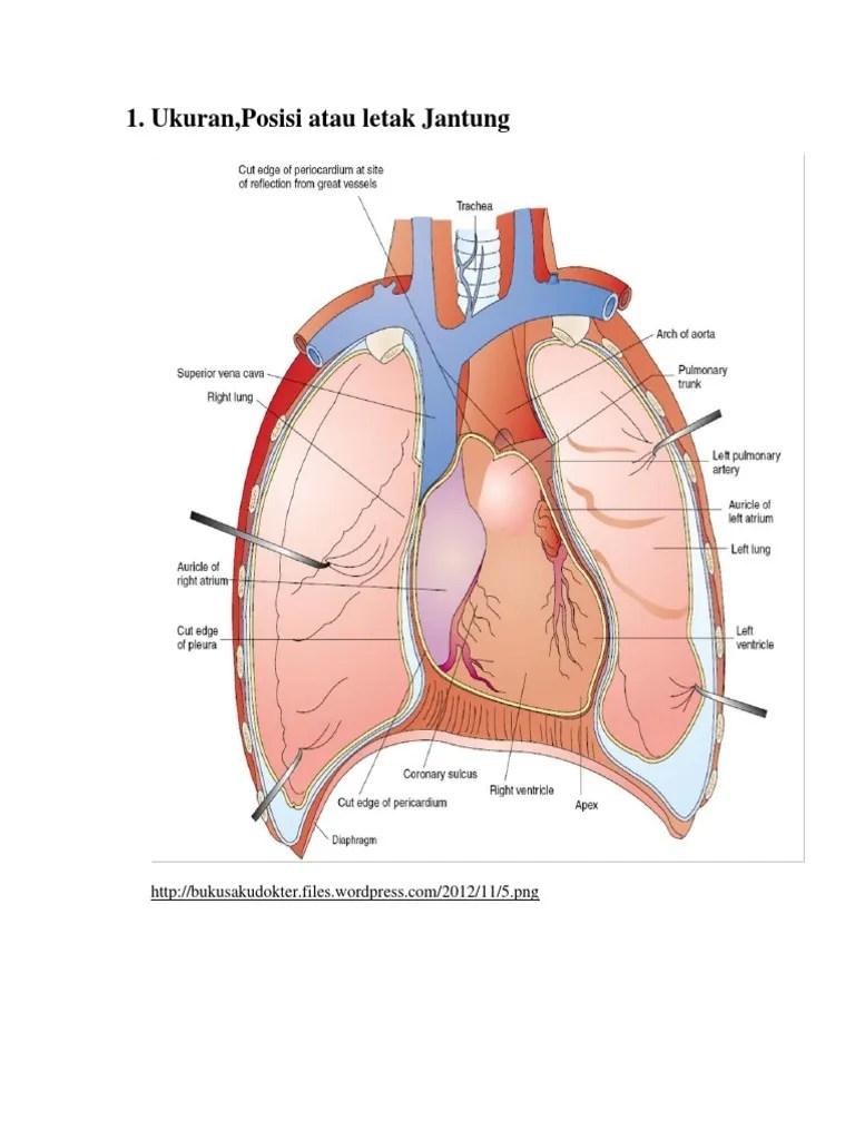 Letak Otot Jantung : letak, jantung, Ukuran, Jantung