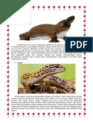 Platypus Ovovivipar : platypus, ovovivipar