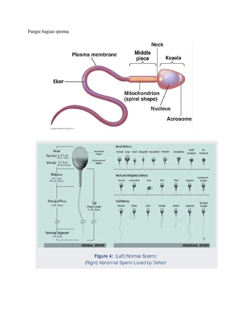 Apa Fungsi Bagian Ekor Dari Sperma Manusia : fungsi, bagian, sperma, manusia, Kunci, Jawaban, Fungsi, Bagian, Sperma, Manusia, Galeri